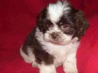 Shih-Tzu puppies ready for there forever homes now they