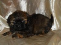 We have several adorable shih tzu puppies ready now to
