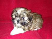 Shih Tzu, puppies available. Our shih tzu are 5 to 9