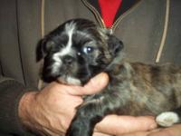 We have three little male shih tzu puppies, looking for