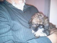 Purbred SHIH TZU pups. Sire red& white 9#'s The