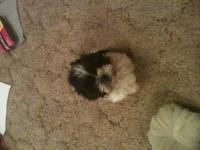 Hi, I have two male shih tzus for sale. They are very