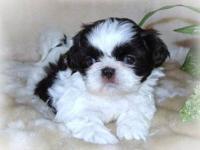 Shih Tzu Puppies http://tanarishihtzus.webs.com/ Our
