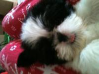 Shih Tzu Puppies CKC reg. males and females. Taking