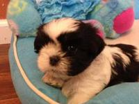 Adorable, pure bred shih-tzu puppies, born on June 20,