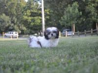 We have two male Shih Tzu puppies. The puppies were