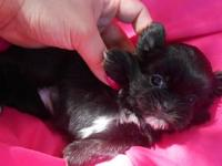 I have a litter of Shih Tzu puppies for adoption! There