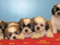 I have 2 - 6 weeks old male Shih-Tzu Puppies that will