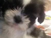I have up for sale three adorable shi-tzu puppies.