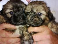 Precious Pups for sale Cute and cuddly babies available