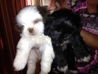 I have two adorable male puppies for sale puppies are