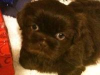 Christmas babies available now Cute and cuddly Shih-Tzu