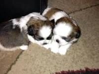 Beautiful Shih tzu puppies born October 17th. 2 males