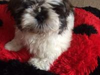 Hello I have 2 males and one female shih-tzu new