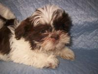 Shih Tzu Puppies To approved residences just. All are