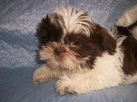 Shih Tzu Puppies To accepted homes just. One Male, One