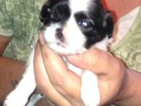 Quite adorable CKC Shih Tzu young puppies, 3 males, 1