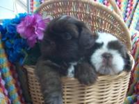 Shih Tzu Puppies To accepted homes only. One