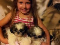APRI signed up Shih-Tzu kids that are 9 weeks old, Vet