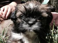 Pure bred Shih Tzu puppies prepared for their for life