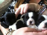 Lovable Shih Tzu young puppies, dob 8/24/14 white and