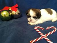 5 of 6 stunning Shih Tzu young puppies for sale born
