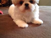 Cute Shih Tzu puppies. They are adorable and sweet,