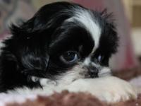 Shih tzu puppies: 1 male and 2 females available. Have
