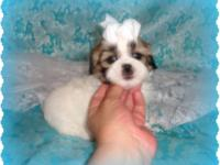have two beautiful liver shihtzu puppies for sale. The