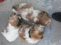 Three male purebred  shih tzus white and tan. Nine