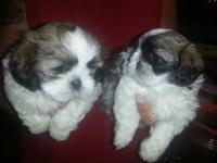 I have two little male shih Tzu puppies, mom and dad