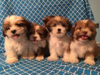 Beautiful Shih Tzu puppies, 8 weeks, nice tricolor,