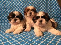 Gorgeous top quality Shih Tzu puppies, 7 weeks, nice