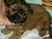 Shih tzu puppies beautiful colors and faces vet checked