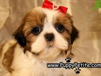 Shih Tzu puppies are so cute and cuddly.  They are