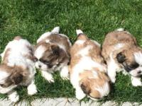 Purebred Shih Tzu puppies $450 each for the males, $500