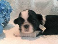 We have some Stunning Shih Tzu babies that are coming