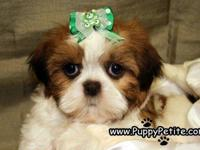 Shih Tzu puppies are available now! Ours are adorable