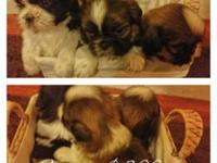 I have 6 shih tzu young puppies looking for ther3