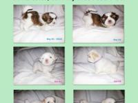 These beautiful Shih Tzu Puppies were born October 3,