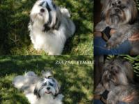 7 Purebred, extra fluffy, teddy bear smashed faced Shih