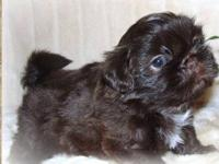 Shih Tzu puppies Born 10/7/12