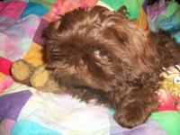 Beautiful litter of Shih Tzu Puppies! Home raised, Pups
