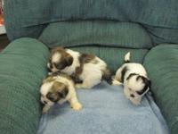 Beautiful CKC Shih Tzu puppies. We have both males
