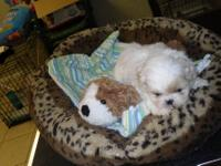 4 Beautiful CKC registered Shih Tzu puppies. I have 3