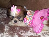 Rare Toy Sized Shih Tzu Puppies, parents are under 6