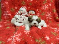 We have two shih-tzu puppies who will be ready for