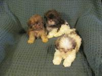 We have some beautiful and sweet Shih Tzu puppies. They