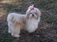 Gwen and Swiffer had 7 beautiful shih tzu babies. CKC