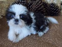 I'm down to my last available female Shih Tzu, born on